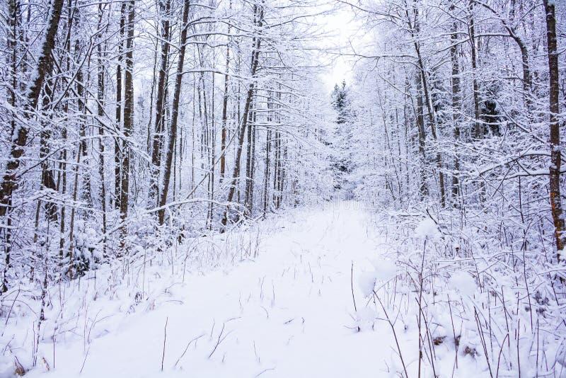 Зима в пуще стоковые изображения rf
