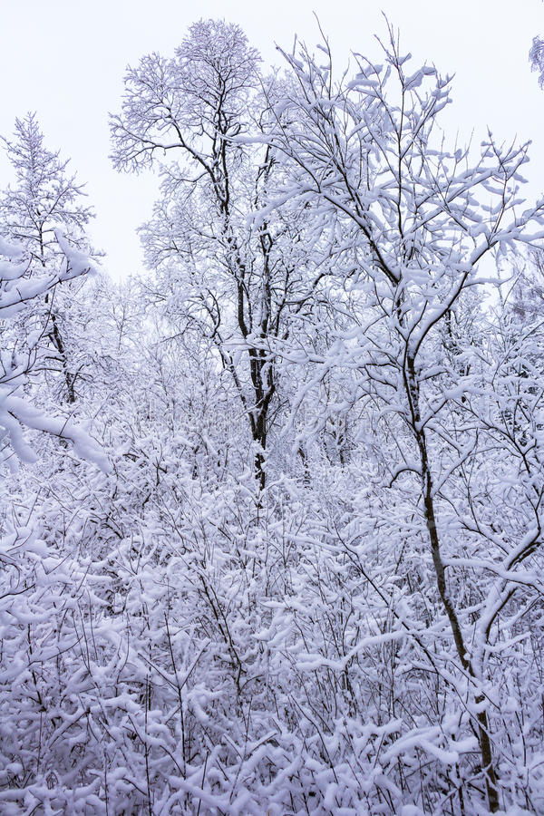 Зима в пуще стоковое фото rf