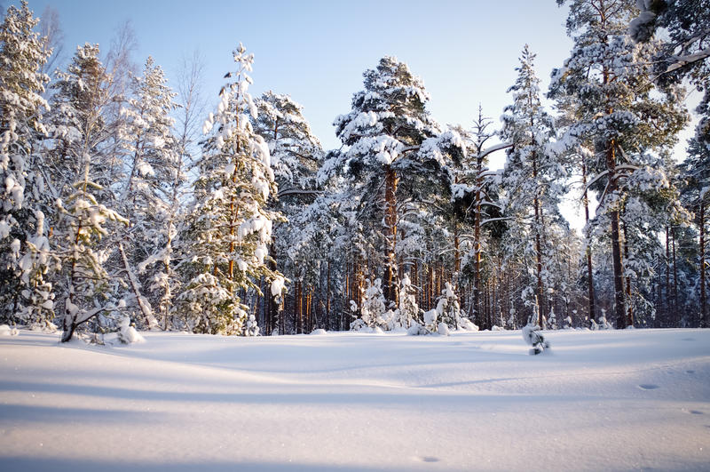 Зима в соснах соснового леса положенных в кожух в снег стоковая фотография