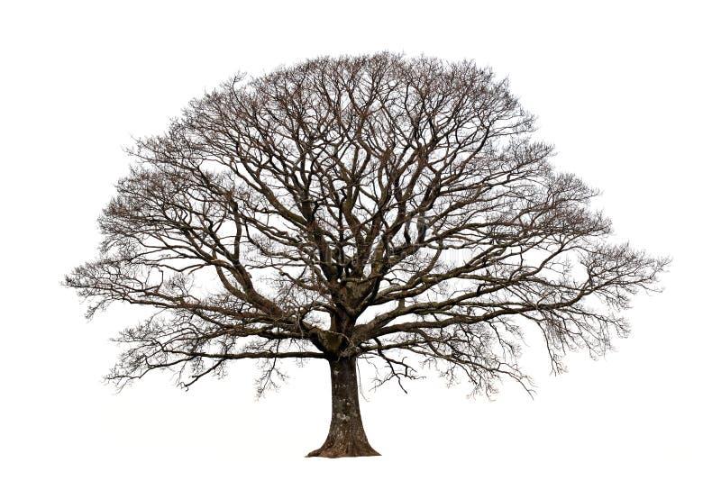 зима дуба стоковое фото