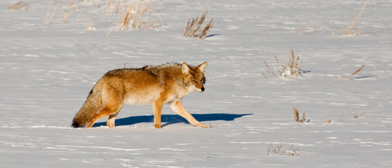 зима койота стоковое изображение rf