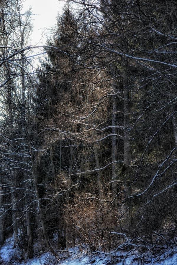 Зима леса деревьев Outdoors идет снег свет стоковые изображения rf