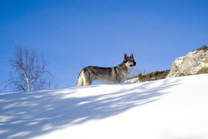 зима пущи собаки стоковые фото