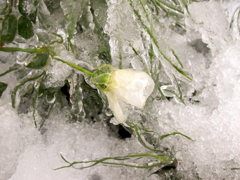зима сада Первый заморозок, замороженная белая роза и падения o стоковые изображения