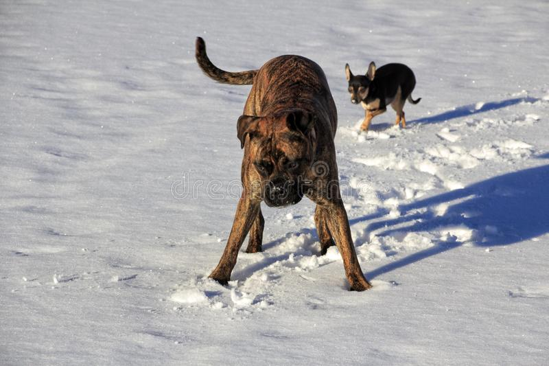 Зима собаки Outdoors идет снег озеро стоковая фотография