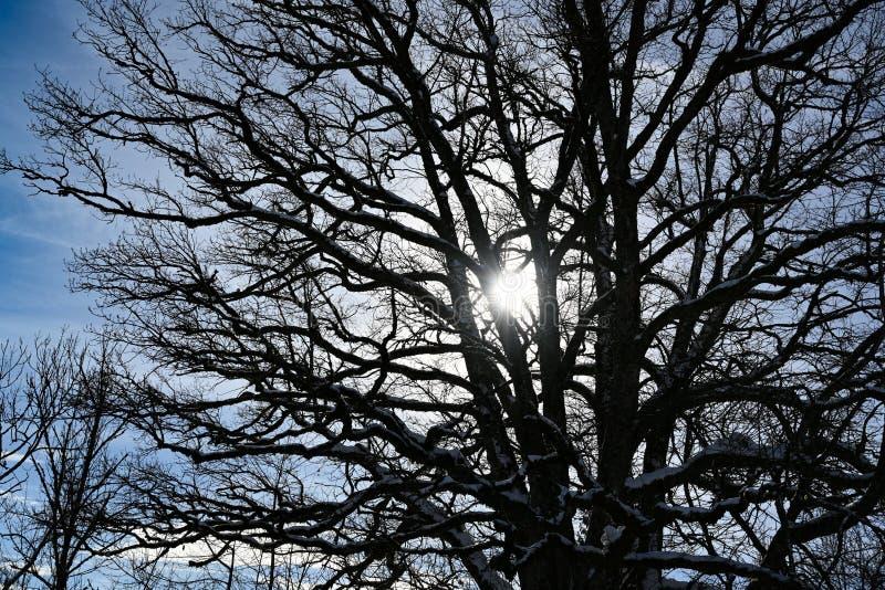 Зима Солнце, солнечные лучи глубокого стоящего солнца приходя через обнаженные ветви дерева стоковые изображения rf