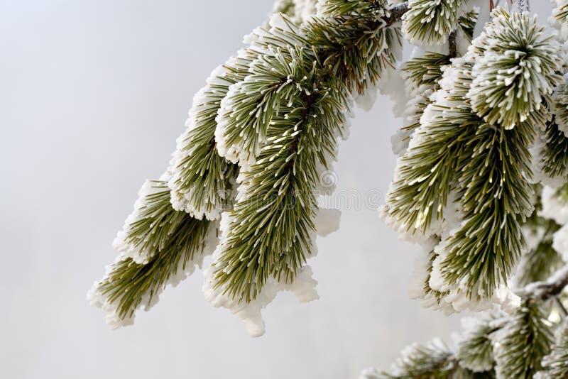 зима сосенки стоковое фото rf