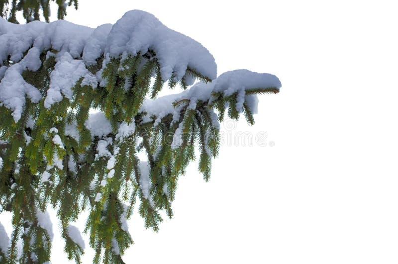 зима спруса неба сезона ветви предпосылки голубая Отсутствие предпосылки, изолированного объекта evergreen Элемент для конструкци стоковая фотография