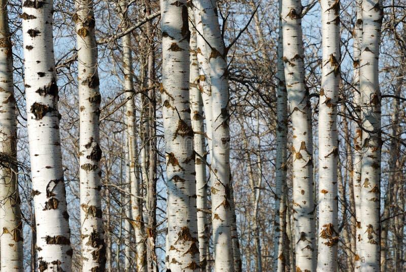 зима стволов дерева стоковая фотография