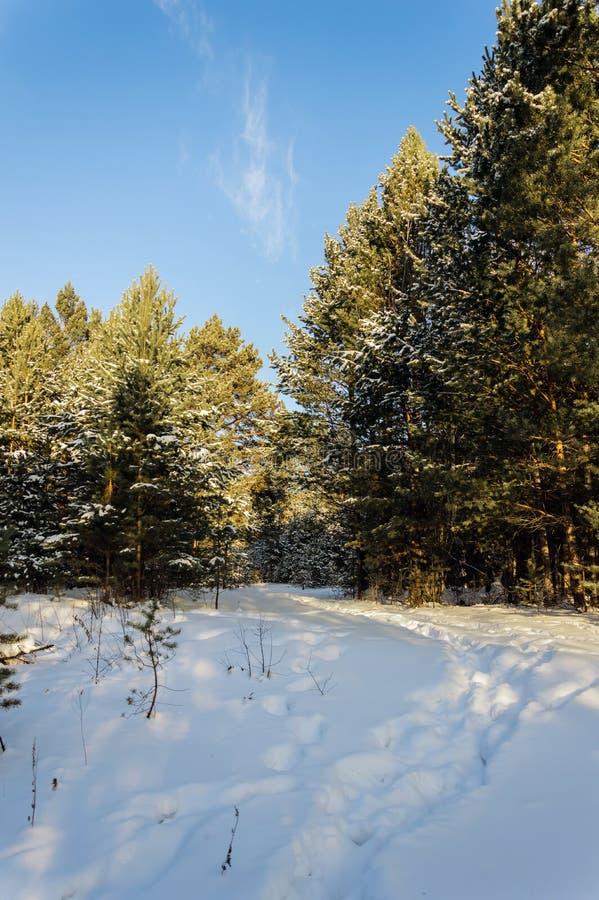 зима температуры России ландшафта 33c января ural Солнечный день, сосновый лес и красивые облака между деревьями стоковые изображения