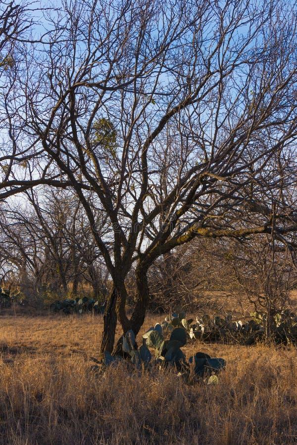 Зима Техаса с дубами и кактусом стоковые изображения