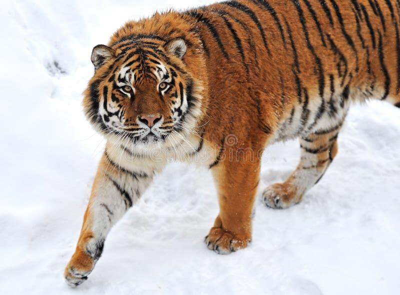 Зима тигра стоковые изображения rf