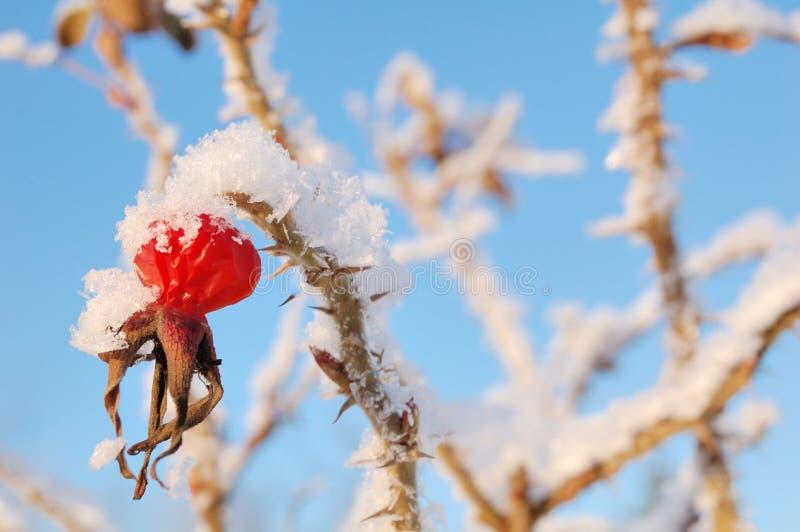 зима ягоды стоковая фотография rf