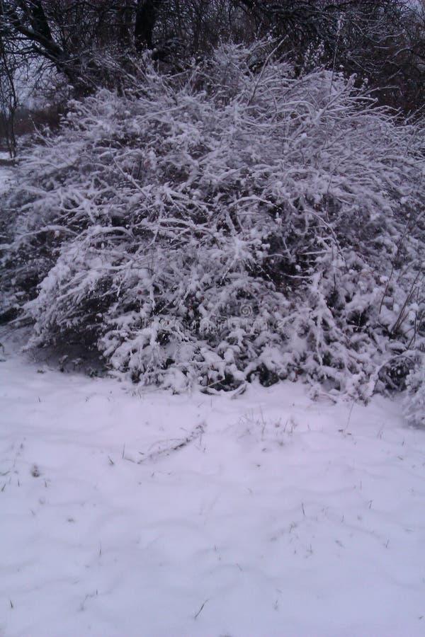 зима bush ветви холодная, котор замерли стоковое изображение rf