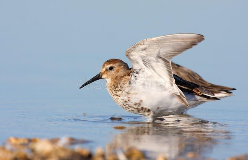 зима plumage dunlin стоковое изображение