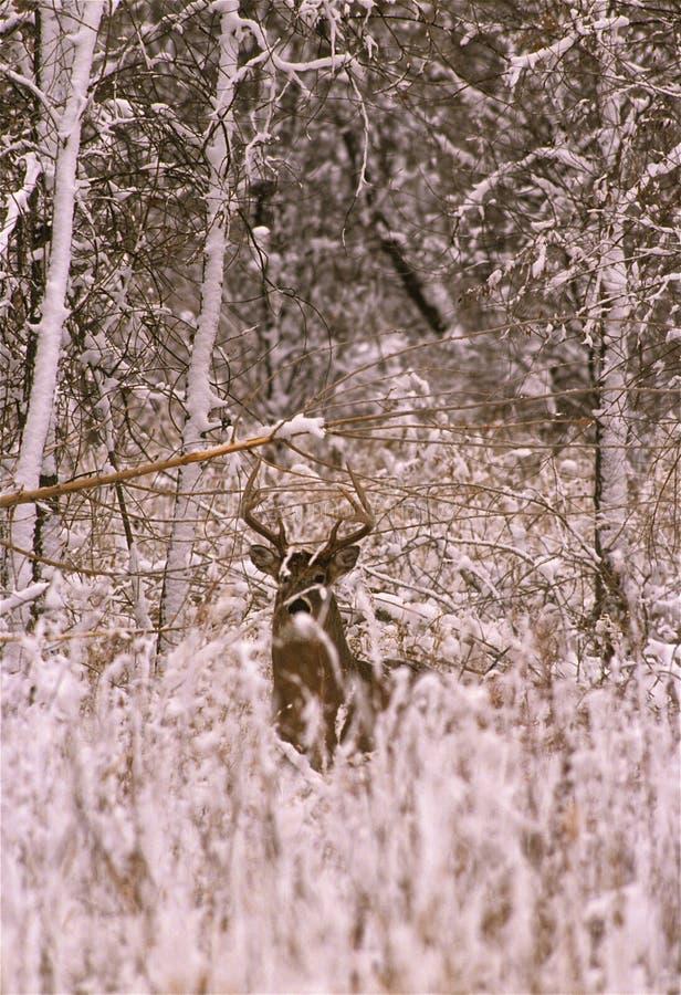 зима whitetail самеца оленя стоковые изображения