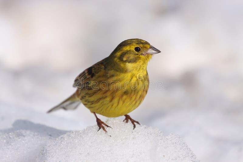Зима Yellowhammer стоковая фотография