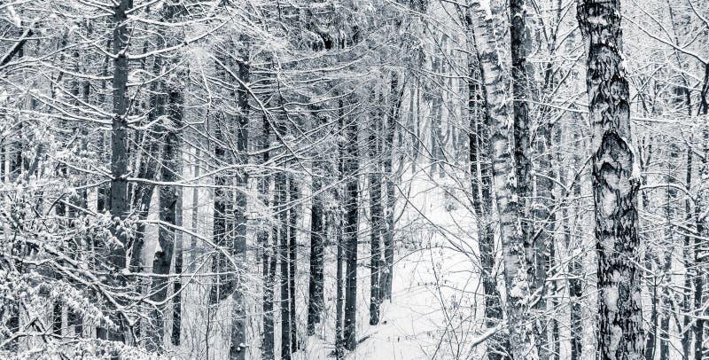 Зимний пейзаж с деревьями в лесу, черно-белом изображении_ стоковые фото