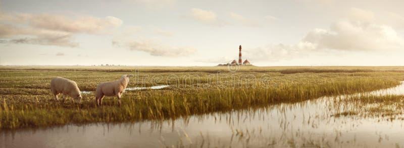 Злаковик с овцами и маяком на Северном море стоковое изображение rf
