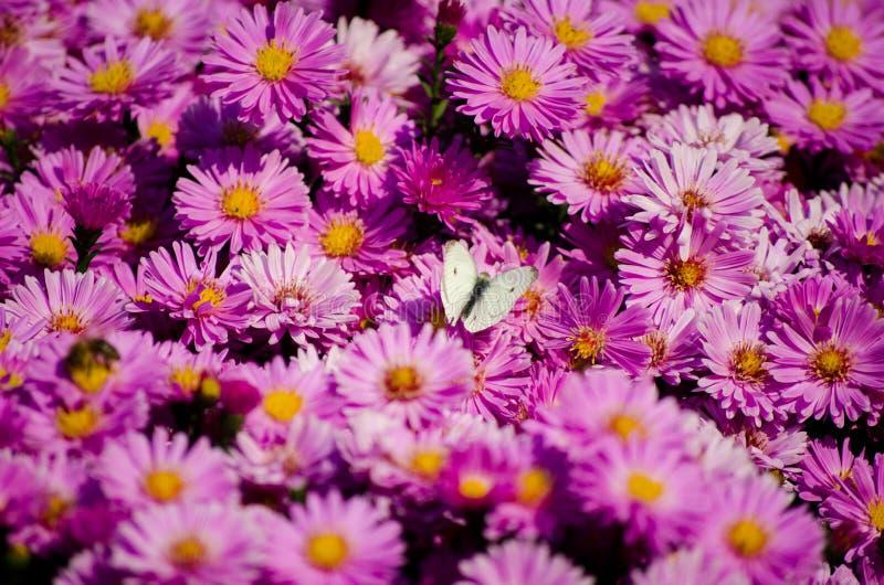 злаковик цветков бабочки после полудня поздно естественный стоковые фотографии rf