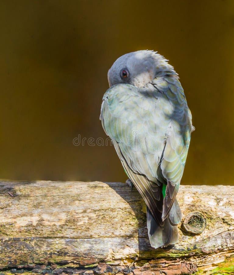 Зловещий выглядя небольшой красный bellied попугай пряча за своим крылом стоковое фото rf