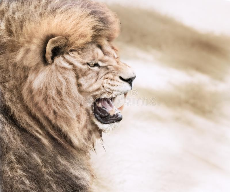 Злющий лев стоковая фотография rf
