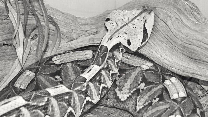 Змеенжш Gaboon стоковые изображения