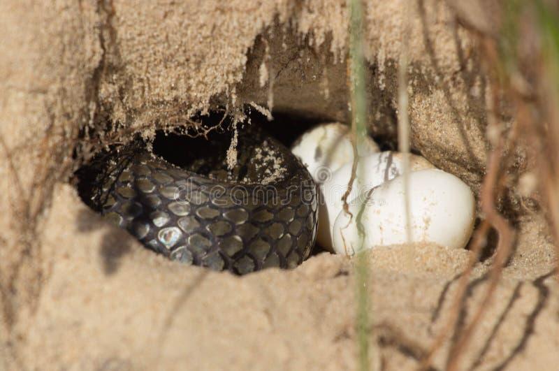Download Змейка в отверстии Стоковое Фото - изображение: 56647550