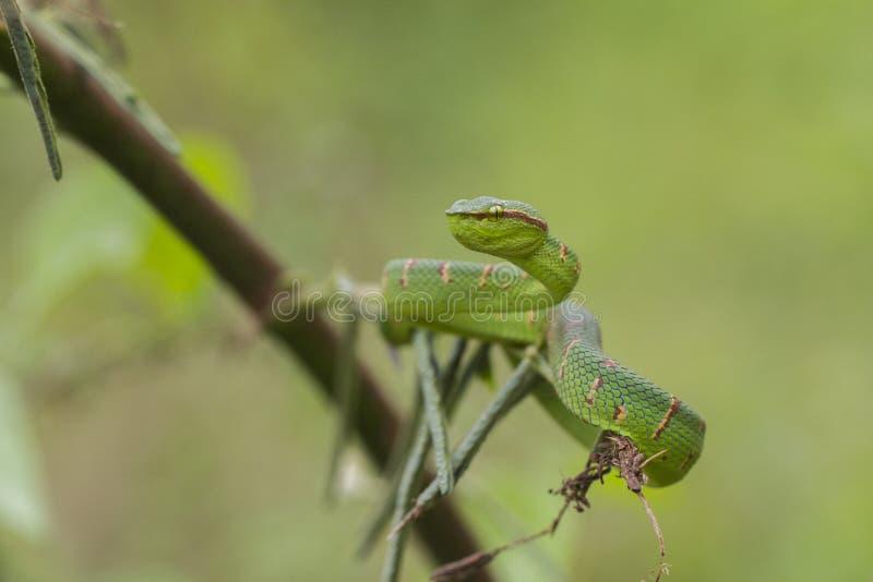 Змейка гадюки ямы Wagler - wagleri Tropidolaemus стоковое изображение