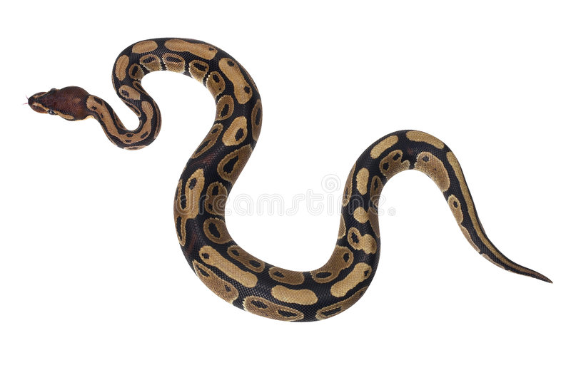 змейка горжетки стоковая фотография rf