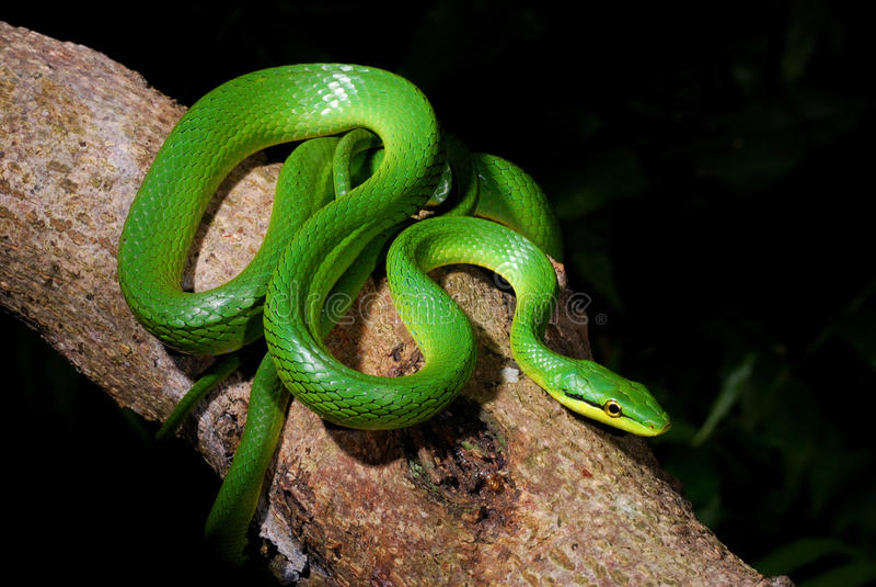 змейка крысы живота серая зеленая стоковая фотография