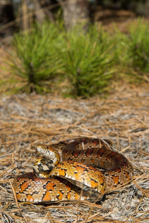 Змейка мозоли стоковые фотографии rf