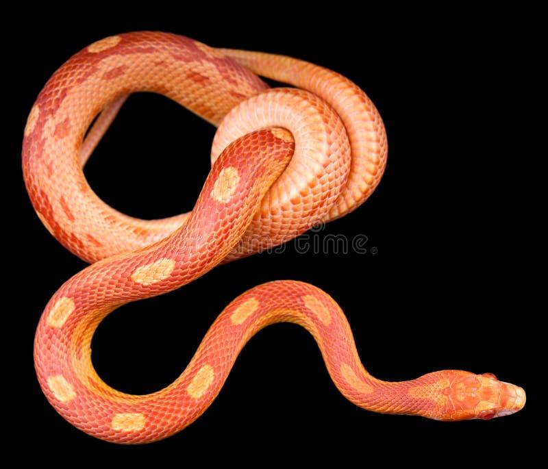 Змейка мозоли motley Amel стоковое изображение rf