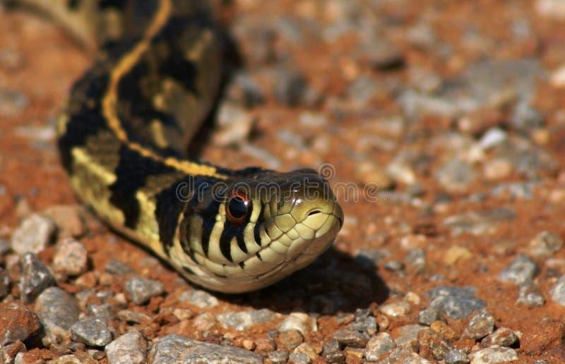 змейка подвязки стоковые фото