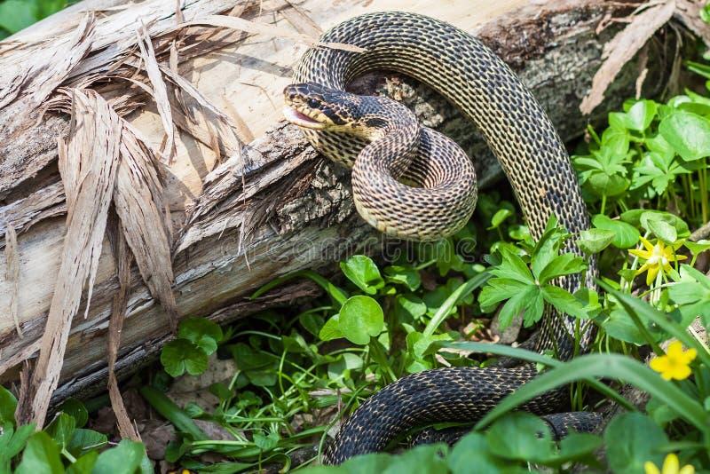 змейка среды обитания естественная стоковые изображения rf