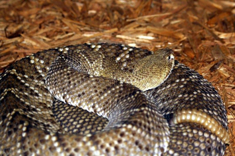 змейка трещотки стоковая фотография rf