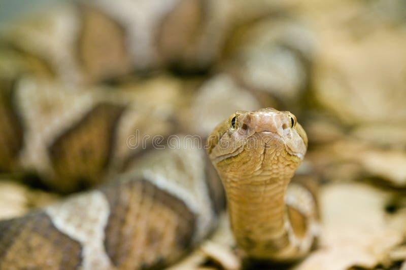 змейка copperhead contortrix agkistrodon стоковая фотография rf