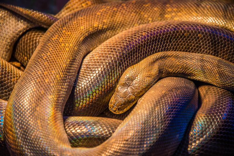 Змейка mackloti Liasis с милыми цветами стоковое фото