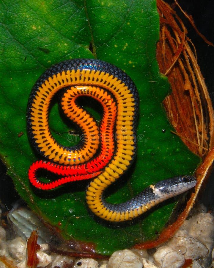 змейка ringneck florida стоковые изображения rf