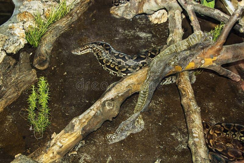 Змейка Snakeskin изменяя стоковая фотография