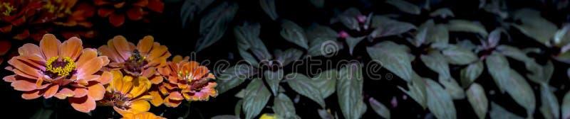 Знамя цветков Zinnia стоковое изображение rf