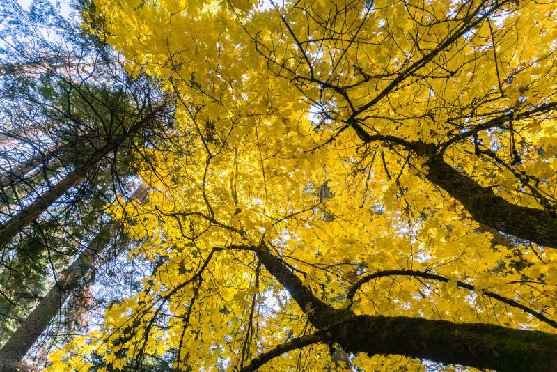 Золотая большая листва macrophyllum acer дерева клена лист, деревья парк штата Calaveras большие, Калифорния стоковое изображение rf