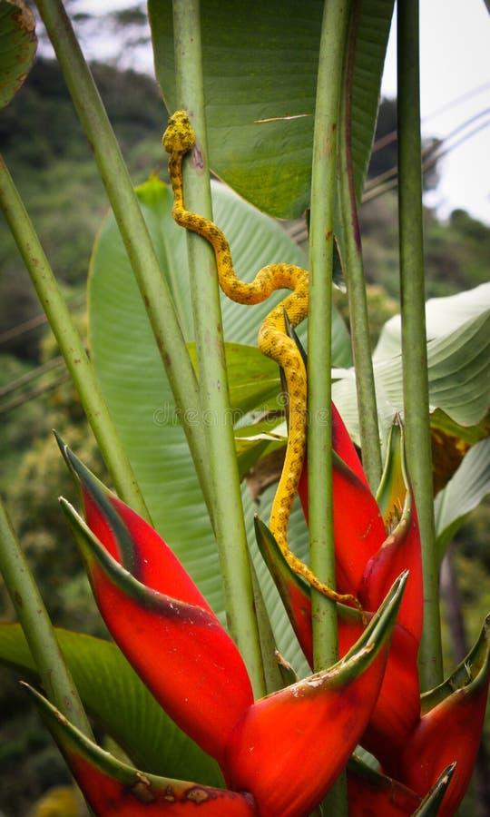 Золотая гадюка ямы ресницы slithering вверх по красному Heliconia в Косте Ri стоковое изображение