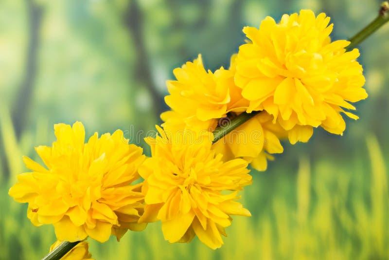 Золотая Гвинея, японец подняла, Kerria Japonica стоковое фото rf