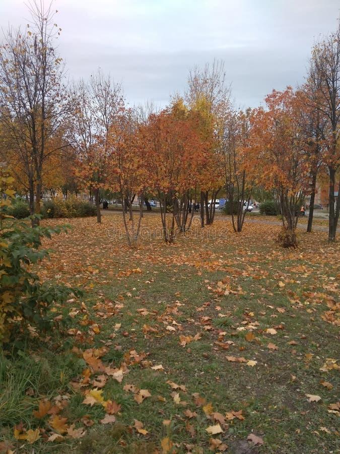 Золотая осень, желтые деревья и упаденные листья стоковая фотография rf