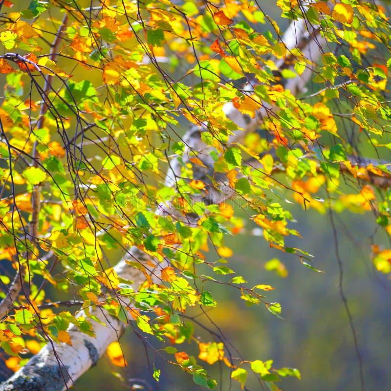 Золотая осень, предпосылка леса березы стоковое фото rf