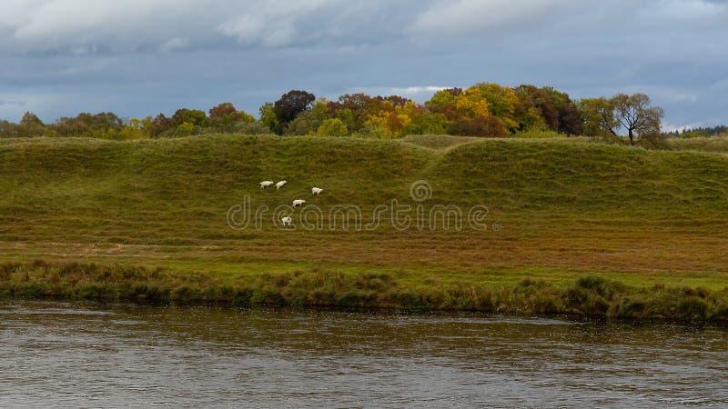 Золотая осень, природа, река, овца, дождь стоковые изображения