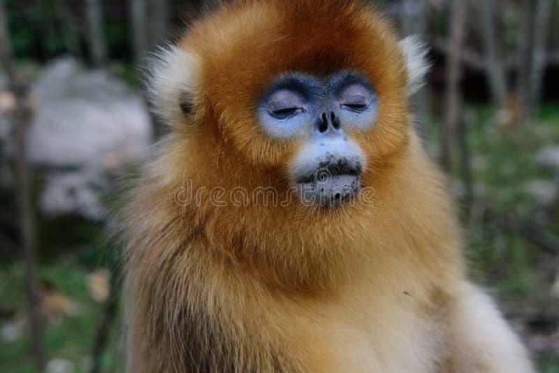 Золотая Оскорбление-обнюханная обезьяна с закрытыми глазами стоковые фото