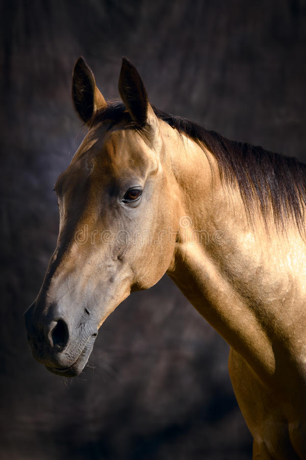Золотистая лошадь Туркменистан стоковое изображение rf