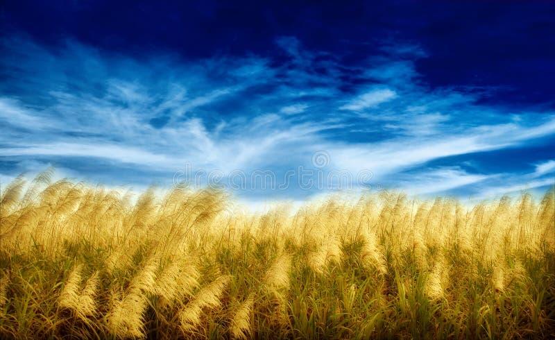 золотистая хлебоуборка стоковые фотографии rf